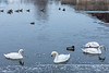 Swans, geese and ducks on the Moira River 2018 December 31.