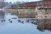 Geese by Canadian Pacific Railway bridge across the Moira River in Belleville Ontario.