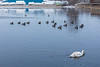 Geese and a swan on the Moira River.