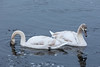 Swans on the Moira River in Belleville Ontario.