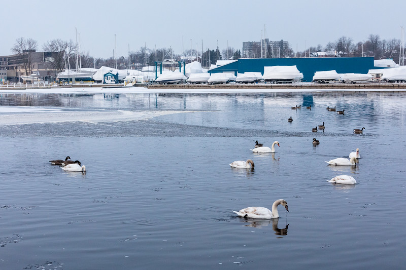 Swans, geese and a duck on the Moira River.