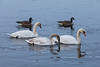 Three swans and a couple of geese on the Moira River.