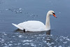Swan on the Moira River at Belleville Ontario.