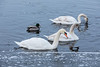 Three swans and a duck on the Moira River.