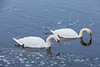 A couple of swans on the Moira River.