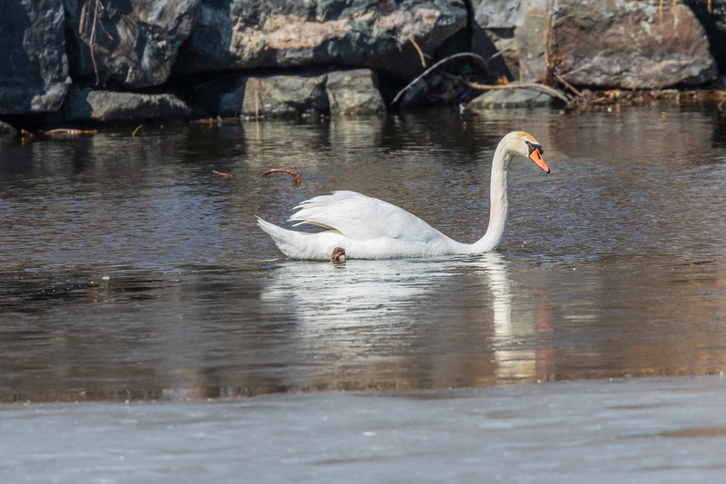 Swan near the edge of the ice on Turtle Pond