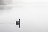 Swan on a foggy morning.