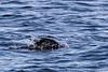 Cormorant heading underwater