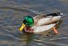 Duck swimming