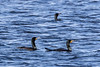 Three cormorants on the Bay of Quinte.