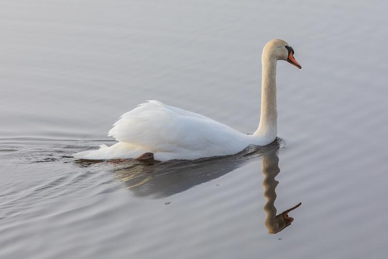 Swan heading up the bay.