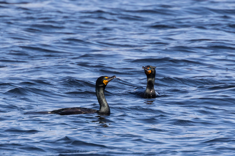 Two cormorants on the Bay of Quinte.