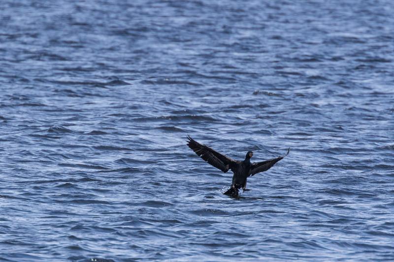 Cormorant on the Bay of Quinte.