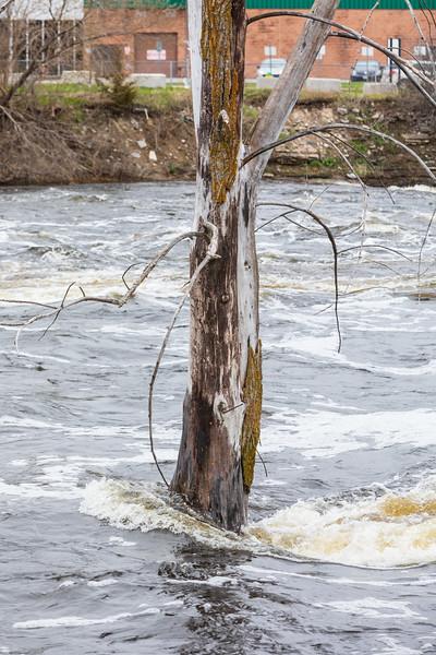 Tree in the Moira River near the Lazier Dam