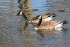 Geese on turtle pond