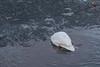 Swan feeding under the edge of the ice.