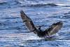 Cormorant landing on the Moira River.