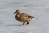 Duck walking on the ice