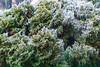 Cedar bushes with freezing rain.