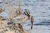 Heron on breakwater with fish in its beak