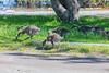Goslings along the edge of Keegan Parkway