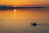 Swan on the Bay of Quinte just after sunrise.