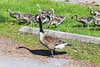 Goose and goslings.