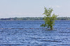 Small island with one tree in the Bay of Quinte pretty much underwater. 2019 June 14.