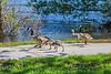 Geese and goslings on walkway.