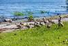 Goose and goslings on walkway