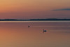 Swans on the Bay of Quinte around sunrise.