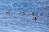 Ducks in the water.