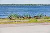 Geese and goslings along the edge of Keegan Parkway