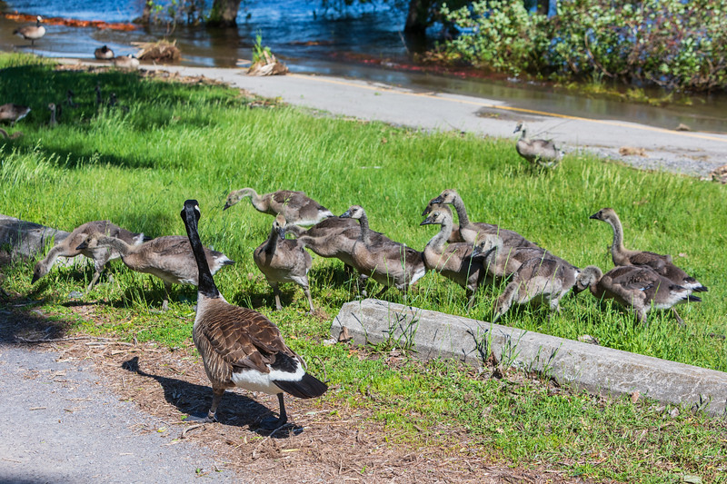 Goose and goslings along the side of Keegan Parkway