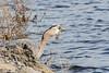 Heron swallowing fish