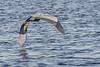 Heron flying over harbour