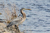Heron after swallowing fish