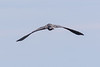 Heron flying over the Bay of Quinte, rear view.