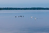 Geese and swans on the Bay of Quinte before sunrise 2019 June 6.