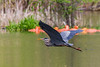 Heron flying over Turtle Pond