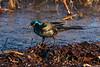 Grackle along the shorelline digging through wave washed debris.
