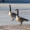 Geese strolling on Keegan Parkway.