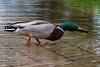 Duck twisting neck