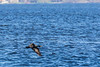 Cormorant flying low over the Bay of Quinte.