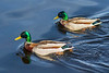 Two Mallard ducks on the Bay of Quinte.