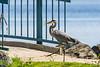 Heron starting to cross bridge at Turtle Pond.