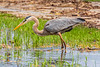 Heron in shallow water