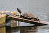 Turtle on raft.