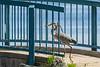 Heron crossing bridge at Turtle Pond.