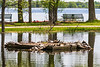Turtles on raft in Turtle Pond. 2019 May 24.
